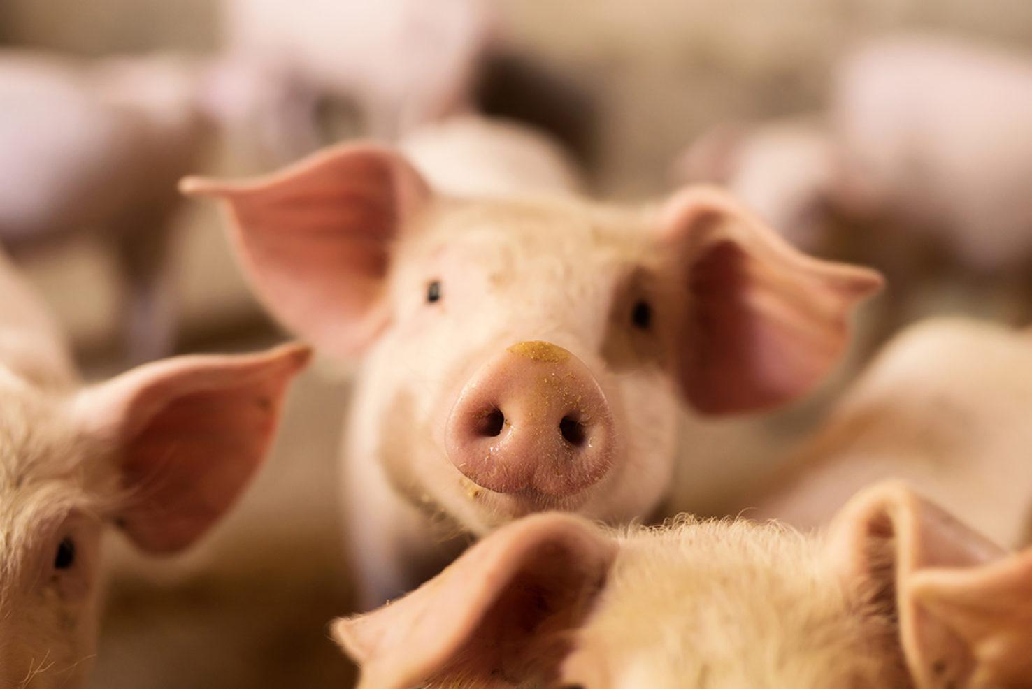 schwein_essen_lebensmittel_arbeitsplatz_wirblog_gesundheit